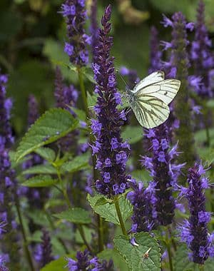 Agastache Astello indigo
