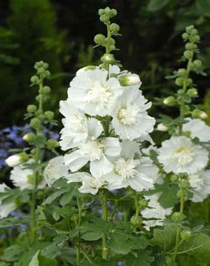 Hollyhock Petno White