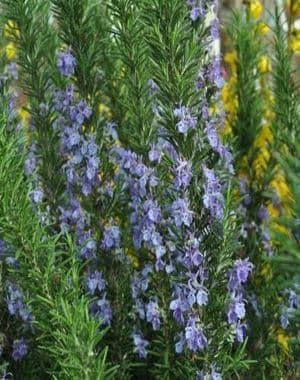 Rosemary Officinalis Tuscan Blue